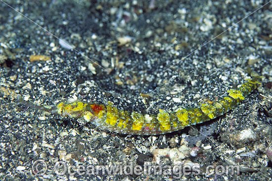 Pipefish Indonesia photo