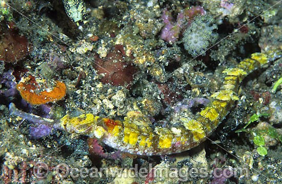 Pipefish (species uncertain). Found throughout the Indo-West Pacific. Photo taken at Lembeh Strait, Sulawesi, Indonesia