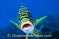 Oriental Sweetlips Photo - Gary Bell