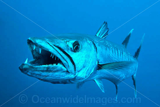 Great Barracuda with mouth open - Sphyraena barracuda