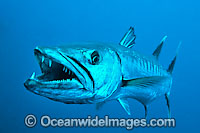 Great Barracuda with mouth open Photo - Gary Bell