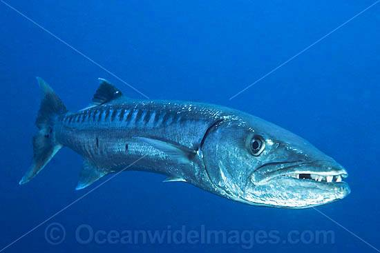 Great Barracuda (Sphyraena barracuda). Found throughout all tropical seas. Photo taken at Great Barrier Reef, Queensland, Australia. Potentially dangerous.
