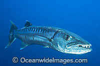Great Barracuda Photo - Gary Bell