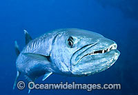 Great Barracuda with mouth open photo