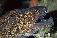 Yellow-edged Moray Gymnothorax flavimarginatus Photo - Gary Bell