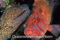 Yellow-edged Moray cleaned by cleaner shrimp Photo - Gary Bell