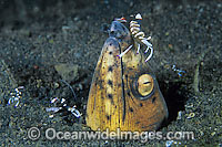 Black-finned Snake Eel cleaned by shrimp Photo - Gary Bell