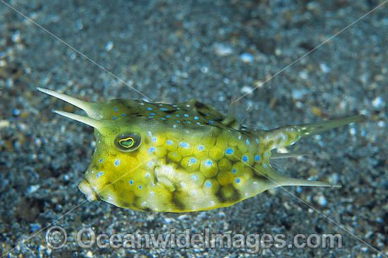 Long-horn Cowfish (Lactoria cornuta). Also known as Boxfish. Found throughout Indo Pacific, usually seen on mud or sandy habitats in bays, harbours and estuaries. Photo taken at Tulamben, Bali, Indonesia Photo - Gary Bell