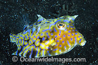Thorny-back Cowfish Lactoria fornasini Photo - Gary Bell