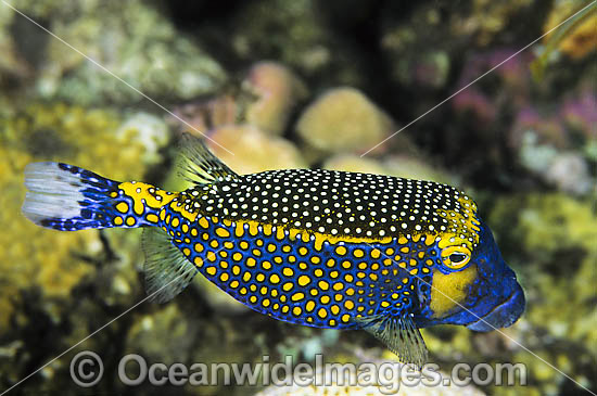 Spotted Boxfish (Ostracion meleagris) - male. Female is primarily black with spots. Found throughout the Indo-West Pacific, including the Great Barrier Reef. Also known as Black Boxfish.