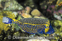 Spotted Boxfish Ostracion meleagris Photo - Gary Bell