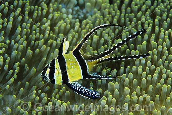 Banggai Cardinalfish (Pterapogon kauderni) - sheltering in a sea anemone. Originally only known from Banggai Islands, central-east Sulawesi, Indonesia, but now introduced to northern Sulawesi coastal waters by aquarists.