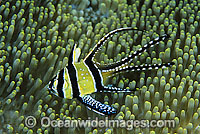 Banggai Cardinalfish Photo - Gary Bell