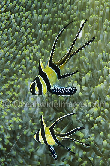 Banggai Cardinalfish (Pterapogon kauderni) - sheltering in a sea anemone. Originally only known from Banggai Islands, central-east Sulawesi, Indonesia, but now introduced to northern Sulawesi coastal waters by aquarists. Photo - Gary Bell