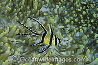 Banggai Cardinalfish Pterapogon kauderni Photo - Gary Bell