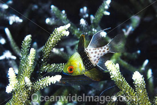 Pyjama Cardinalfish (Sphaeramia nematoptera) - amongst branching acropora coral. Easily recognised by red eye and spots along side of body. Found throughout the Indo-West Pacific, including the Great Barrier Reef.
