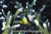 Pyjama Cardinalfish Photo - Gary Bell