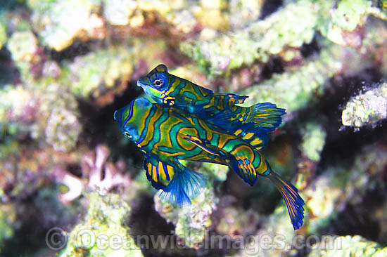 Mandarin-fish (Pterosynchiropus splendidus) - courting behaviour of male and female. Found throughout West Pacific. Photo taken Great Barrier Reef, Queensland, Australia