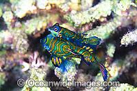 Mandarin-fish courting male and female photo
