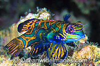 Mandarin-fish Pterosynchiropus splendidus photo