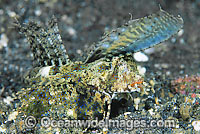 Fingered Dragonet female Photo - Gary Bell