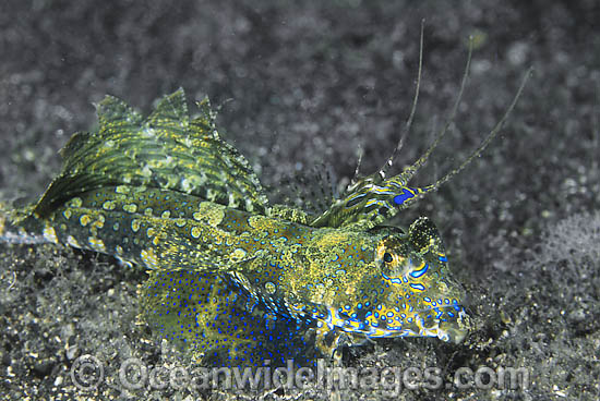 Fingered Dragonet (Dactylopus dactylopus) - male. Found throughout West Pacific and eastern Indian Ocean. Photo taken at Lembeh Strait, Sulawesi, Indonesia