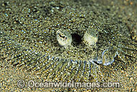 Leopard Flounder Bothus pantherinus photo