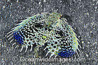 Flying Gurnard Dactyloptena orientalis Photo - Gary Bell