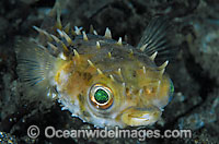 Rounded Porcupinefish Photo - Gary Bell