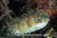 Rounded Porcupinefish Cyclichthys orbicularis Photo - Gary Bell