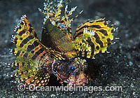 Dwarf Lionfish Dendrochirus brachypterus photo