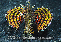 Dwarf Lionfish yellow and red photo
