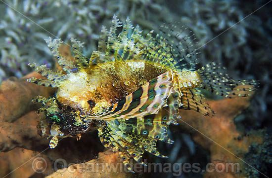 Dwarf Lionfish (Dendrochirus cf brachypterus). This species is highly variable and has many colour variations. Found on offshore reefs throughout the Indo-West Pacific. Photo taken at Lembeh Strait, Sulawesi, Indonesia