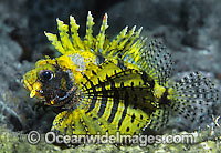 Dwarf Lionfish Yellow colour photo