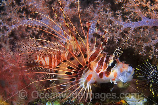 Ragged-finned Lionfish Pterois antennata photo