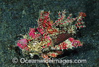 Demon Stinger Scorpionfish Inimicus didactylus Photo - Gary Bell