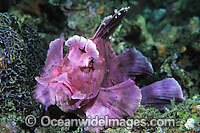 Paddle-flap Scorpionfish photo