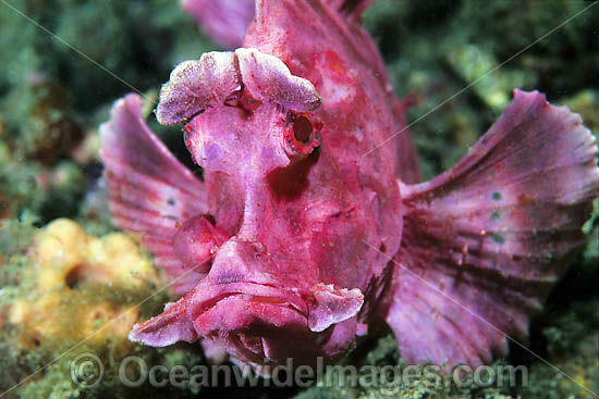 Paddle-flap Scorpionfish (Rhinopias eschmeyeri). Found throughout the Indo-West Pacific. Photo taken at Lembeh Strait, Sulawesi, Indonesia Photo - Gary Bell