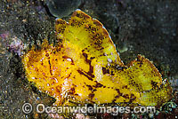 Leaf Scorpionfish yellow phase Photo - Gary Bell