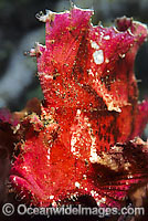 Leaf Scorpionfish pink phase Photo - Gary Bell
