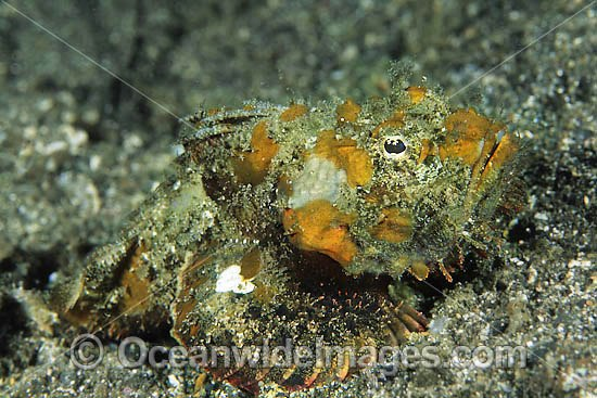 False Stonefish (Scorpaenopsis diabolus), misspelling (Scorpaenopsis diabola). Often seen near reef rubble and often mistaken for Stonefish. Found on offshore reefs throughout the Indo-West Pacific. Photo taken at Lembeh Strait, Sulawesi, Indonesia Photo - Gary Bell