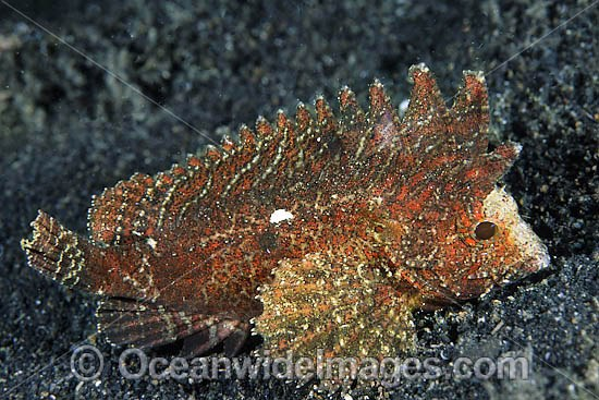 Long-spined Waspfish (Paracentropogon longispinis). Often seen offshore on silty, muddy and sandy terrain throughout the Indo-West Pacific. Photo taken at Lembeh Strait, Sulawesi, Indonesia Photo - Gary Bell