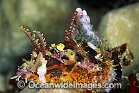 Yellow-nose Scorpionfish photo