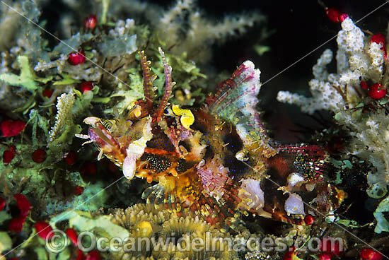 Yellow-nose Scorpionfish (Scorpaenopsis novaeguinea). Found on offshore reefs throughout Indo-Westl Pacific. Photo taken at Tulamben, Bali, Indonesia Photo - Gary Bell