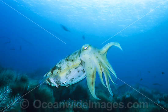 Broadclub Cuttlefish (Sepia latimanus). Found throughout south-east Asia to northern Australia, including Great Barrier Reef.