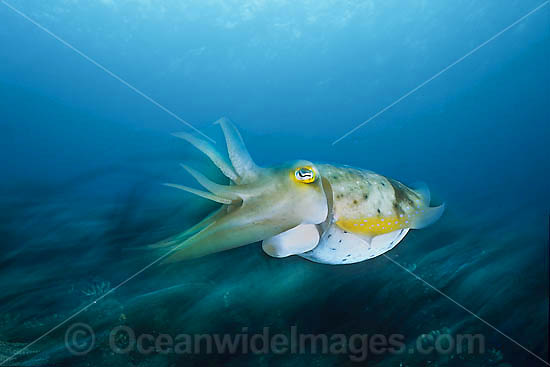 Broadclub Cuttlefish (Sepia latimanus) - showing detail of exhaust siphon whilst swimming. Found throughout south-east Asia to northern Australia, including Great Barrier Reef.