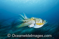 Broadclub Cuttlefish showing exhaust siphon Photo - Gary Bell