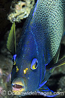 Blue Angelfish Photo - Gary Bell