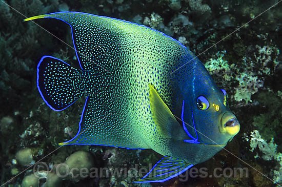 Blue Angelfish (Pomacanthus semicirculatus). Also known as Semi-circle Angelfish and Half-circled Angelfish. Found throughout Indo-West Pacific, including Great Barrier Reef, Australia. Geographical variations occur.