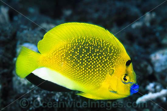 Three-spot Angelfish (Apolemichthys trimaculatus). Found throughout Indo-West Pacific, including Great Barrier Reef, Australia. Geographical variations occur. Photo - Gary Bell